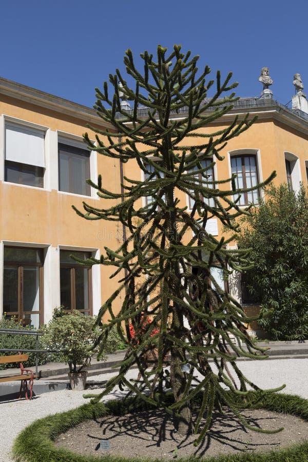 Cileno dell'araucaria - araucaria araucana Molina K Koch, giardino botanico, Padova fotografia stock libera da diritti