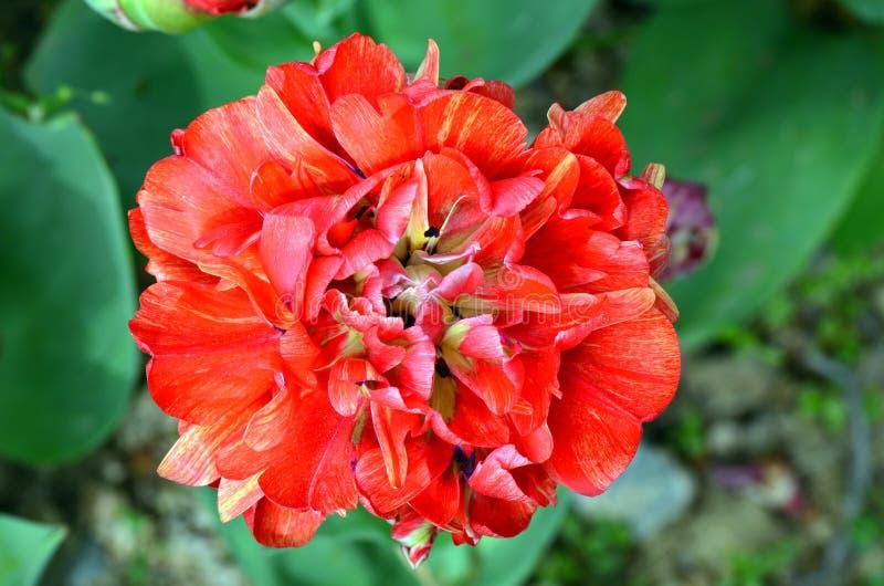 Cilesta-Doppelt-späte Tulpe stockbild