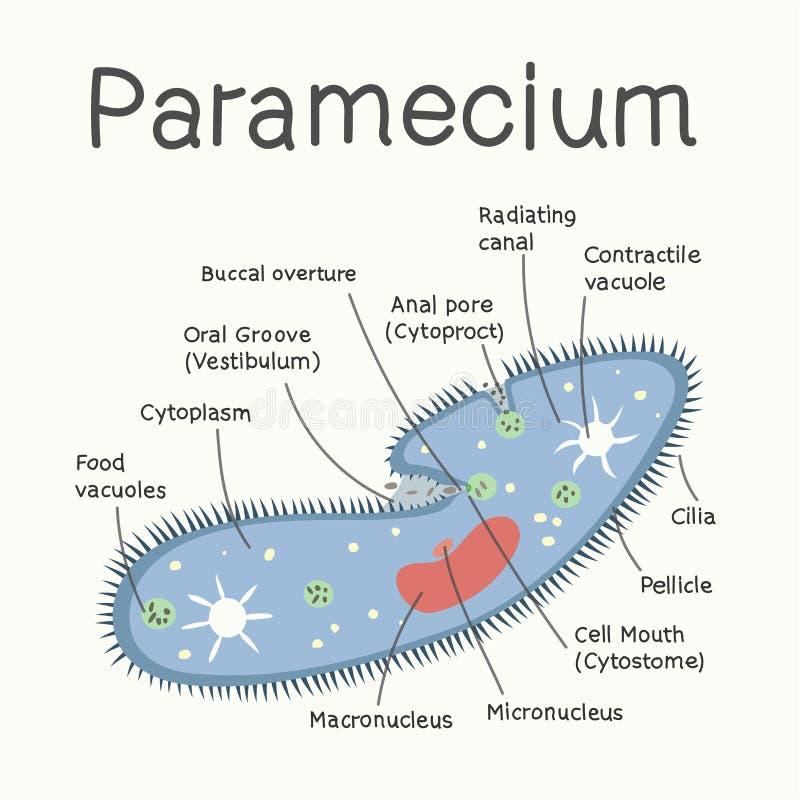 Ciliates - strukturen av mikroorganismen var kan formgivare varje för objektoriginal för evgeniy diagram självständig kotelevskiy vektor illustrationer