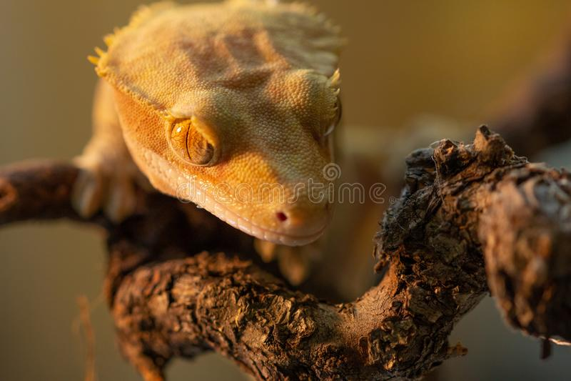 Ciliatus ή Gecko Crestate Correlophus στοκ φωτογραφίες με δικαίωμα ελεύθερης χρήσης