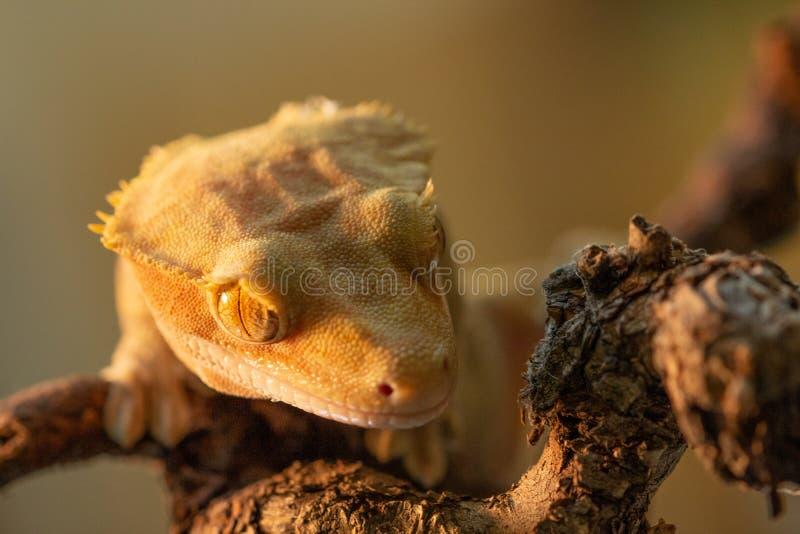 Ciliatus ή Gecko Crestate Correlophus στοκ φωτογραφίες
