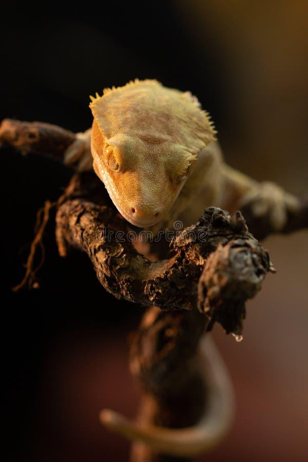 Ciliatus ή Gecko Crestate Correlophus στοκ εικόνα με δικαίωμα ελεύθερης χρήσης