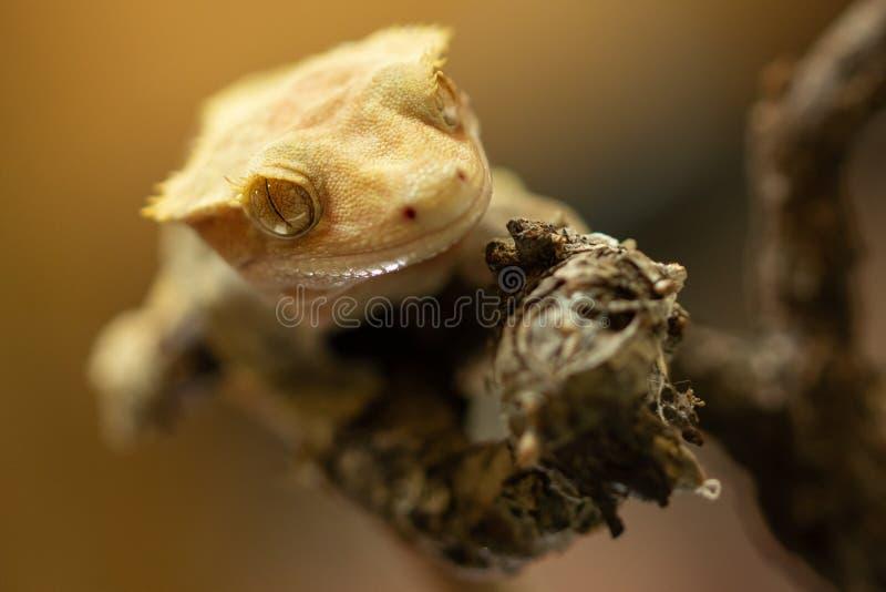 Ciliatus ή Gecko Crestate Correlophus στοκ εικόνες