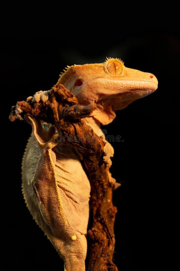 Ciliatus ou gecko Crestate de Correlophus photographie stock