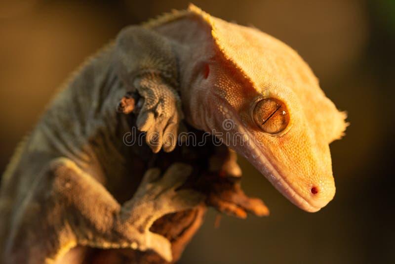 Ciliatus ou gecko Crestate de Correlophus photographie stock libre de droits