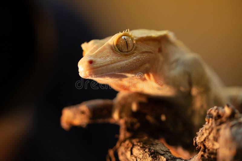 Ciliatus ou gecko Crestate de Correlophus images libres de droits