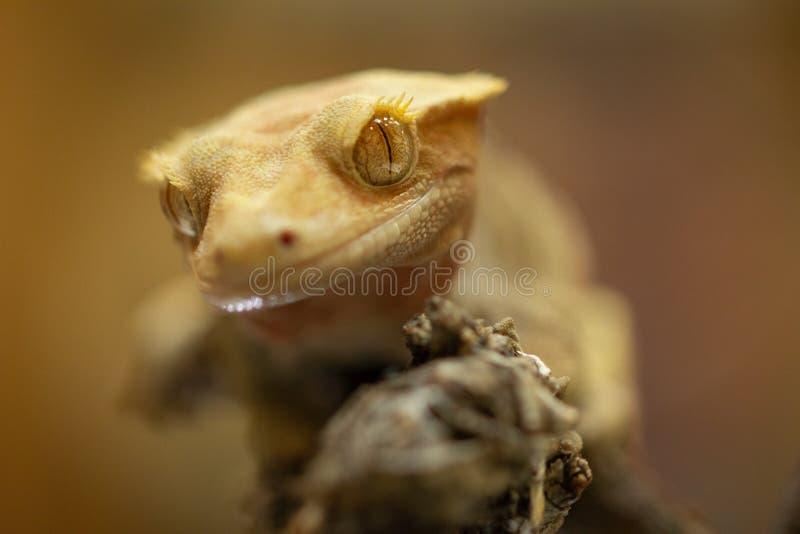 Ciliatus ou gecko Crestate de Correlophus photo stock