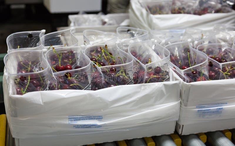 Ciliege mature rosse che sono insaccate per la spedizione in un magazzino d'imballaggio della frutta per commercializzare immagini stock libere da diritti