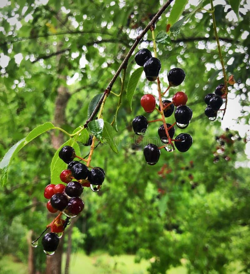 Ciliege selvatiche rosse e nere che appendono sulle gocce delicate di pioggia fotografia stock