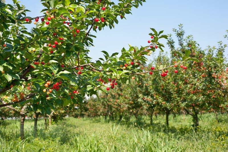 Ciliege sull'albero del frutteto fotografie stock libere da diritti