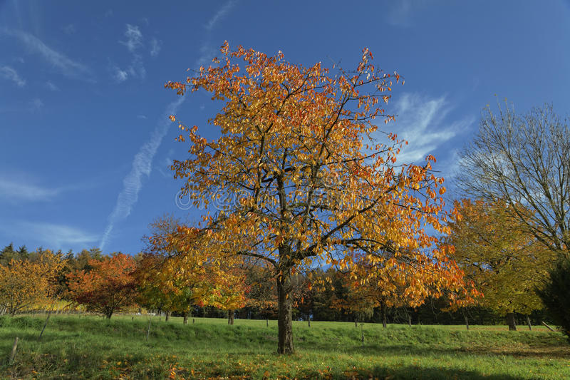 Ciliegi in autunno, Hagen, Germania immagine stock