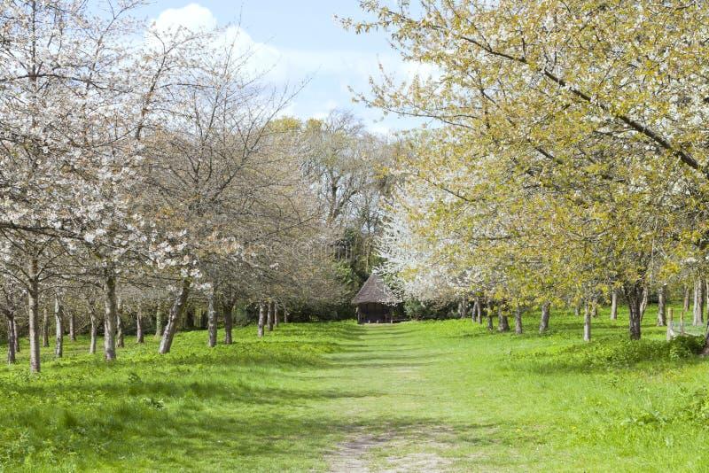 Ciliegi di fioritura nel frutteto di primavera fotografia stock