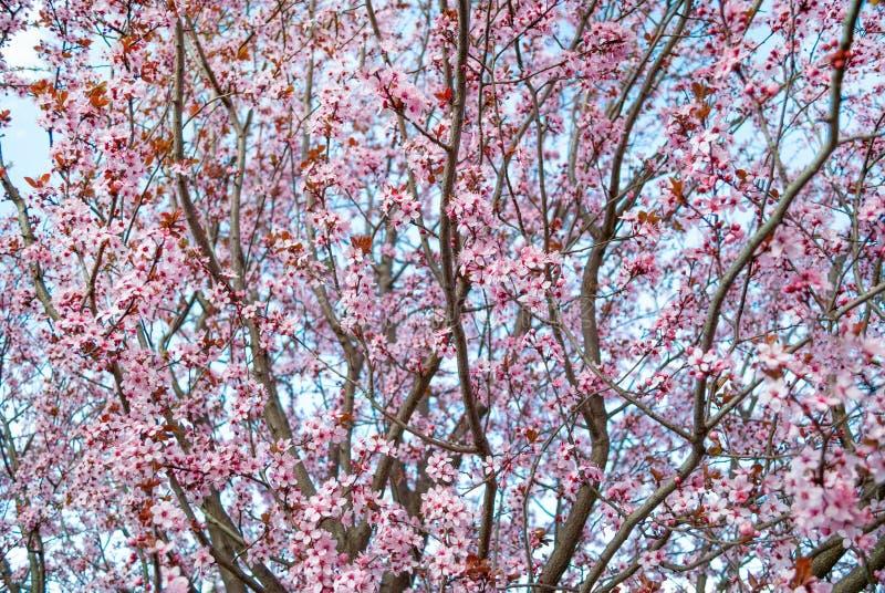 Ciliegi sboccianti in primavera, fondo della primavera immagine stock