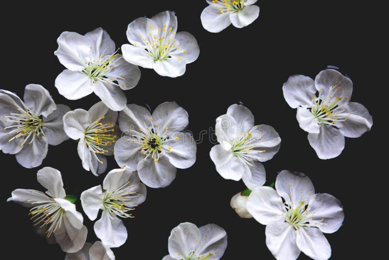 Ciliegia dei fiori della primavera in acqua su un fondo nero Foto della primavera con i fiori Modello, spazio in bianco per un po fotografia stock
