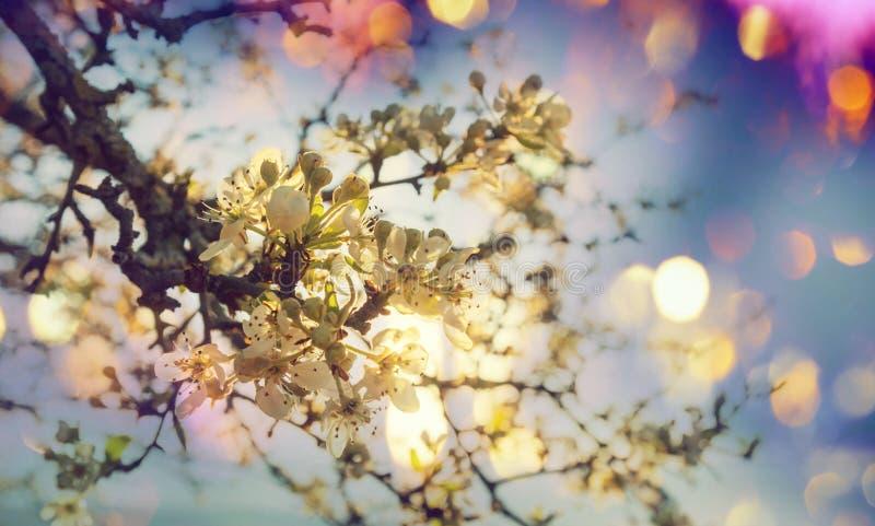 Ciliegia del fiore fotografia stock libera da diritti