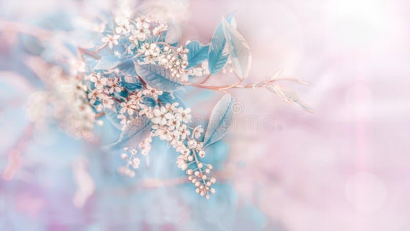 Ciliegia del ramo della primavera con i piccoli fiori bianchi al tramonto Fondo Copi lo spazio immagini stock libere da diritti