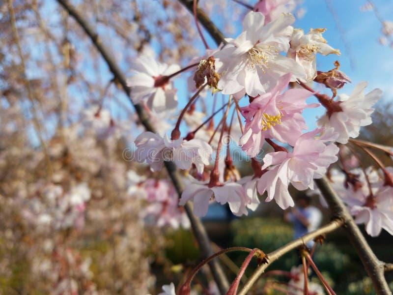 Ciliegia della pianta del cielo del germoglio della flora del fiore fotografia stock