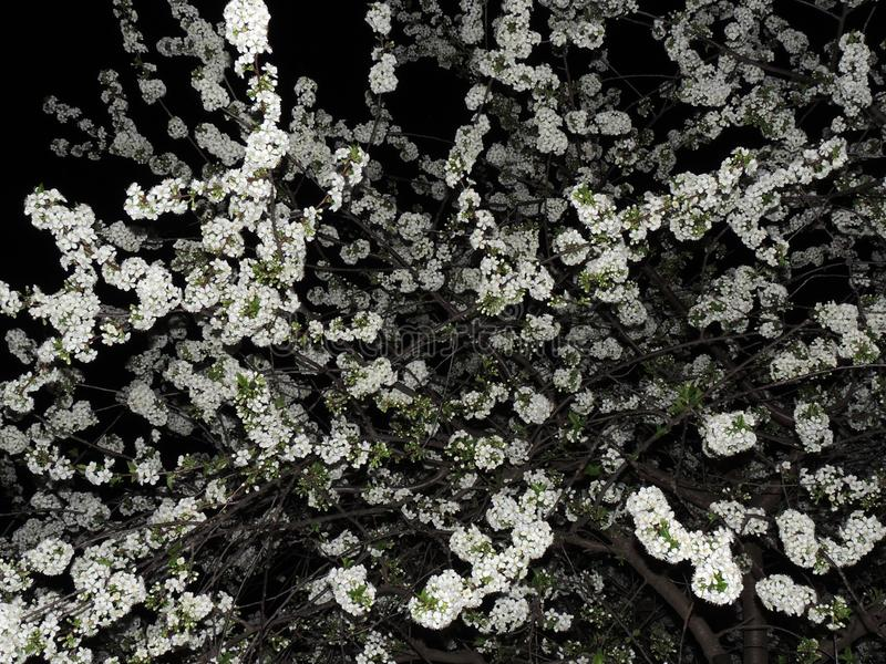 Ciliegia di fioritura sui precedenti del cielo notturno immagini stock libere da diritti