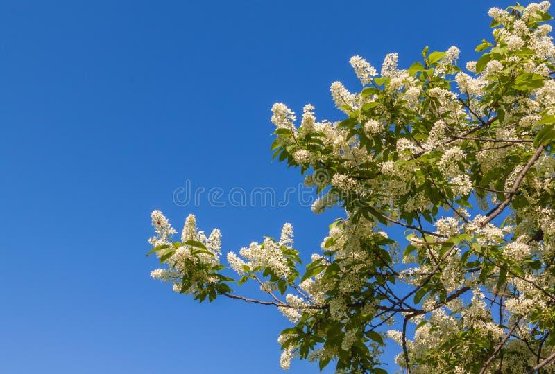 Ciliegia di uccello sul cielo del fondo fotografia stock libera da diritti