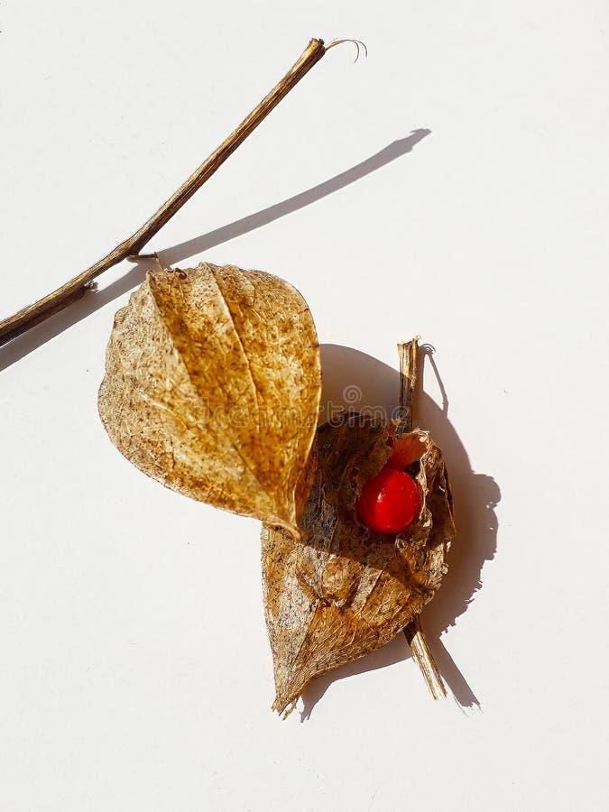 Ciliegia di vescica comune di Alkekengi del Physalis cinese delle lanterne di Wilko, lanterna cinese, ciliegia di messa a terra d fotografia stock