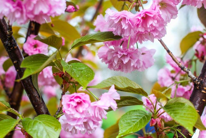 Ciliegia giapponese, sakura, macro del ramoscello del fiore del fiore con le gocce sui petali sul fondo della natura Bella molla  fotografia stock