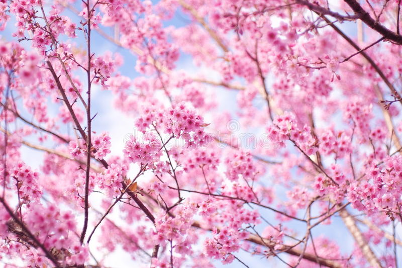 Ciliegia himalayana selvatica (cerasoides del Prunus) alla montagna di Phu Lom Lo fotografie stock