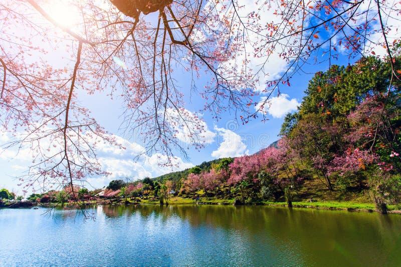 Ciliegia himalayana selvatica con il fondo della nuvola e del cielo blu Sakura tailandese che fiorisce durante l'inverno in Taila immagine stock libera da diritti
