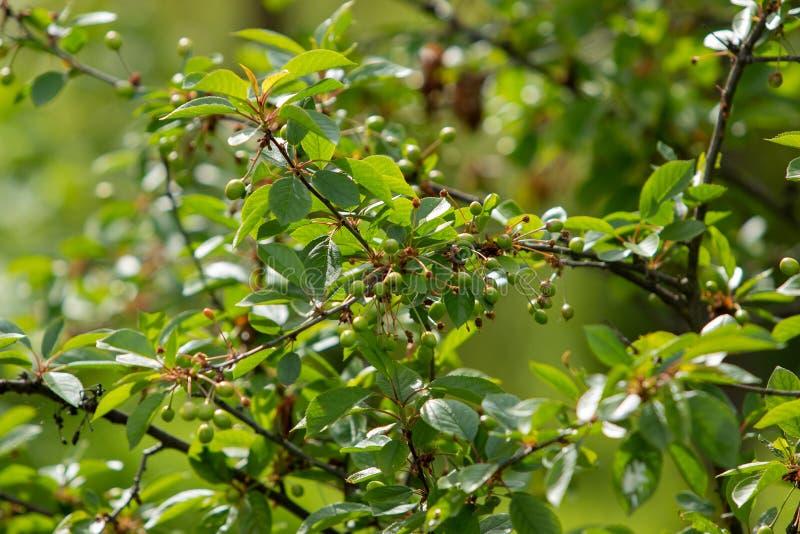 Ciliegio all'inizio di estate con le bacche non mature sull'albero Bacche e foglie verdi verdi della ciliegia immagine stock libera da diritti