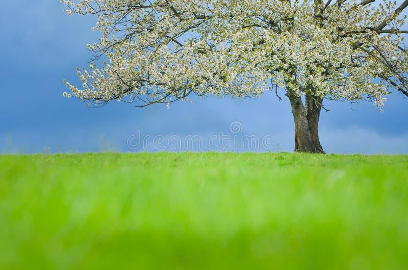 Ciliegio della primavera in fiore sul prato verde sotto cielo blu Wallpaper nella morbidezza, colori neutri con spazio per il vos fotografie stock