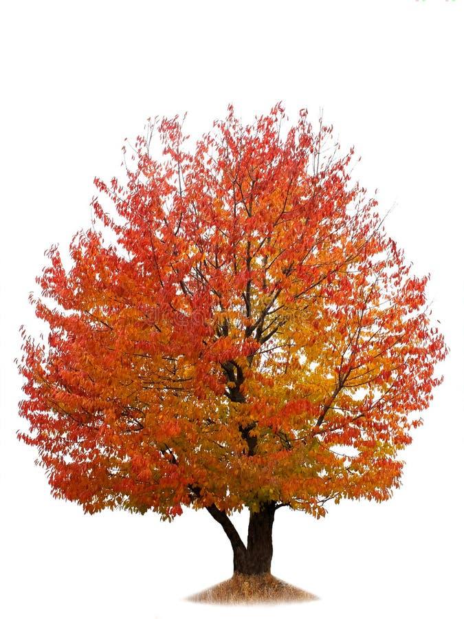 Ciliegio di autunno isolato su bianco immagini stock