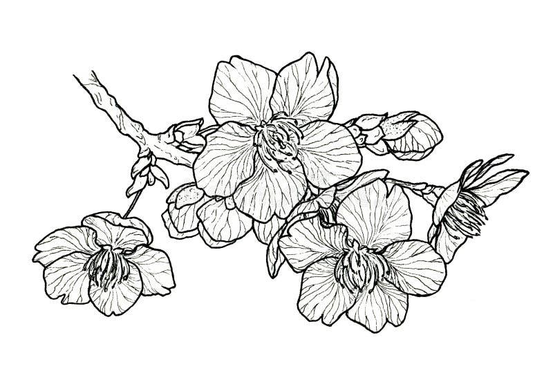 Ciliegio di fioritura sakura illustrazione vettoriale