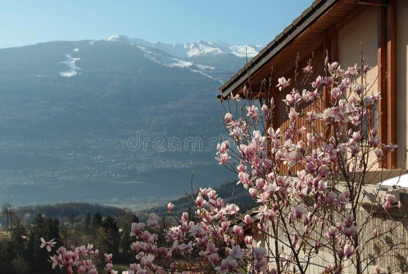 Ciliegio di fioritura in Sion, Svizzera fotografie stock libere da diritti