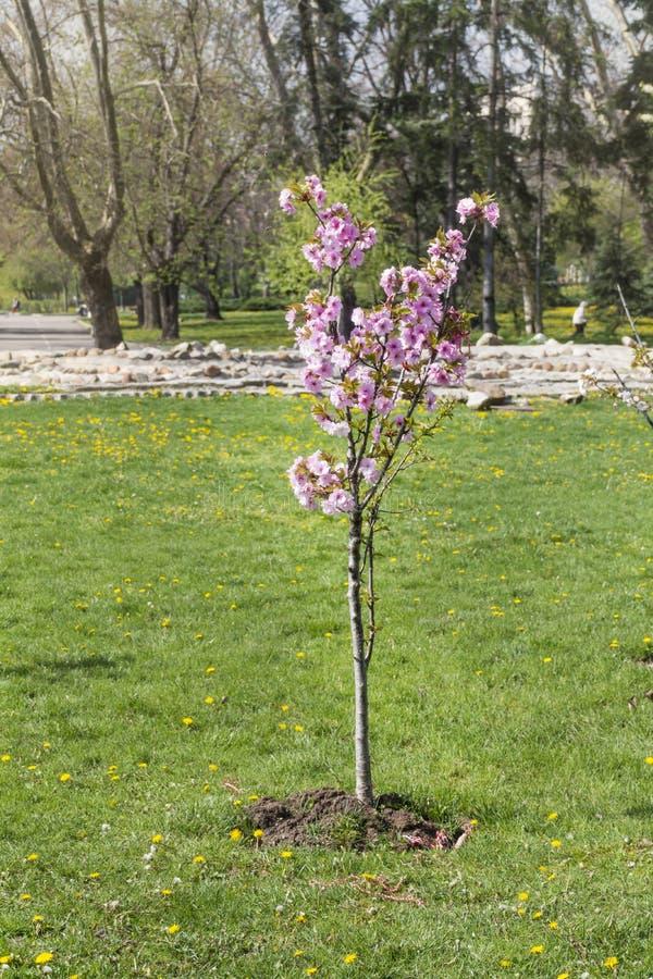 Ciliegio di recente piantato in un giardino della molla fotografia stock libera da diritti