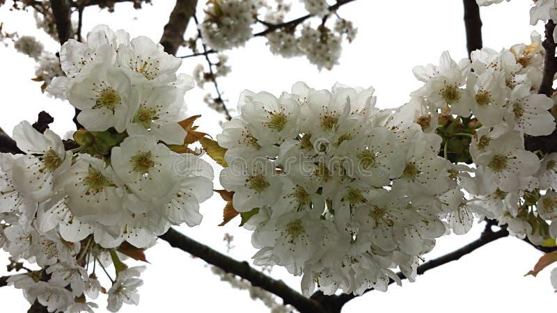 Ciliegio fiorito ad aprile fotografia stock