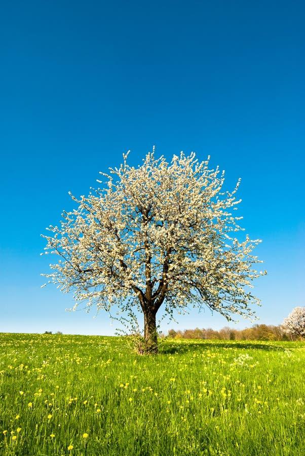 Ciliegio in primavera fotografia stock libera da diritti