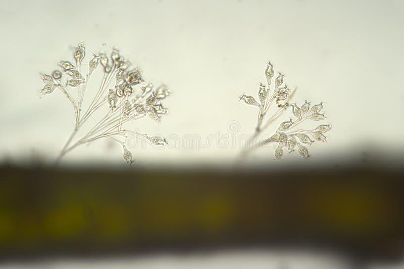 Ciliophora rzęsek Vorticella colonia w słodkowodnym Mikroorganizmy mikroskopem fotografia royalty free