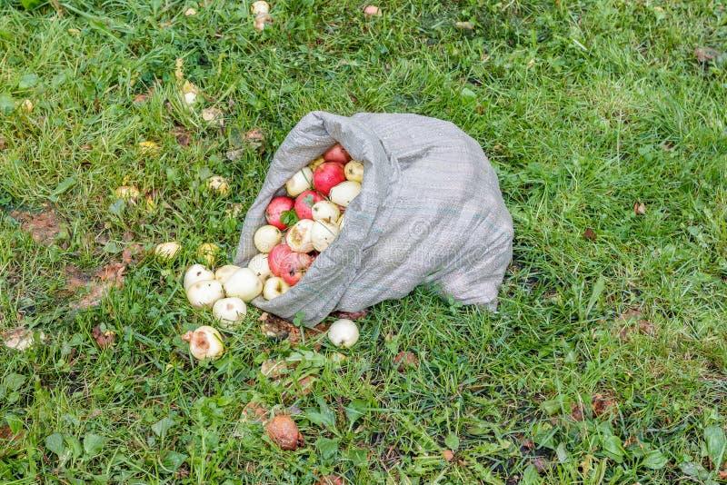 Cilroy жмет яблока стоковые изображения