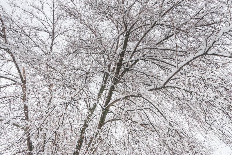 Cima d'albero dei rami di albero senza foglie coperte di ghiaccio e di gelo sui precedenti freddi del fogy o nebbiosi di inverno  immagini stock libere da diritti