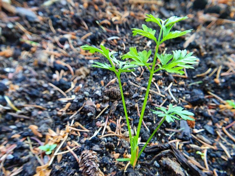 Cima della carota in suolo Concetto domestico del giardino immagine stock libera da diritti