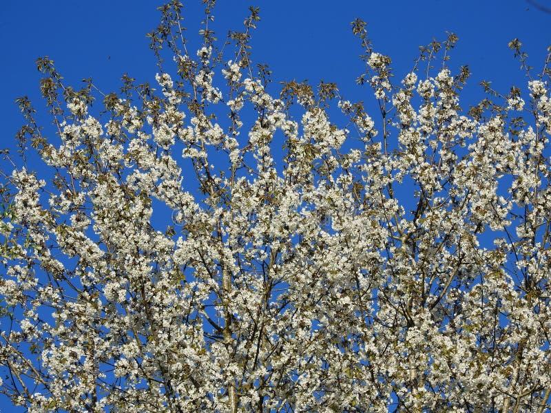 Cima di molto bello di melo in fioritura su un fondo di bello cielo blu fotografie stock