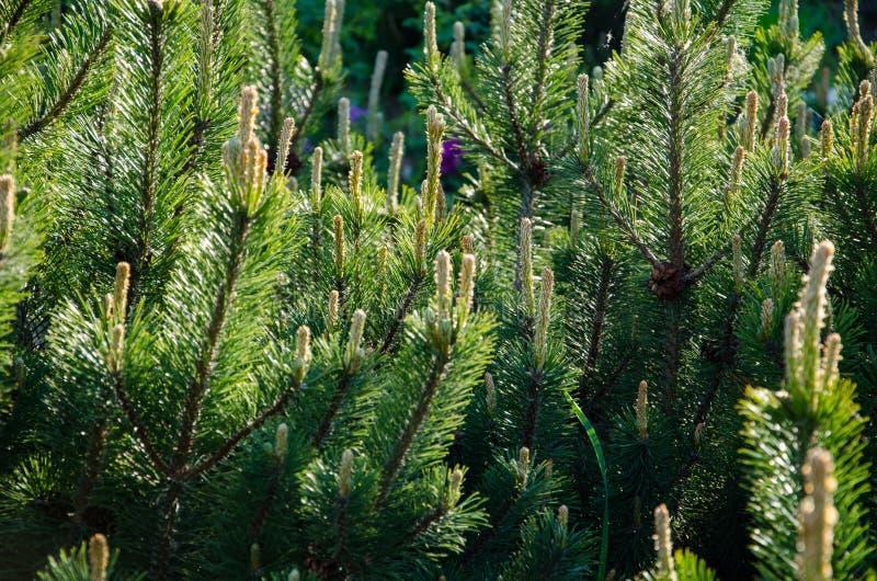Cima di piccolo fondo degli alberi di Natale fotografie stock libere da diritti