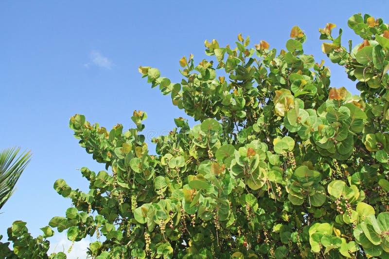 Cima di un albero dell'uva del mare con lo spazio della copia fotografie stock