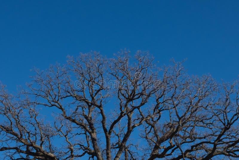 Cima e cielo blu della quercia della sbavatura fotografia stock