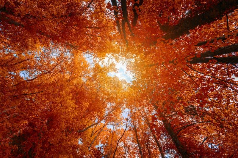 Cime d'albero variopinte di autunno nella foresta di caduta con cielo blu ed il sole SH fotografia stock libera da diritti