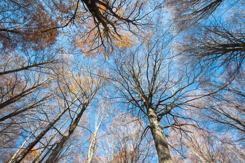 Cime d'albero variopinte di una foresta del faggio su un fondo del cielo blu immagini stock libere da diritti