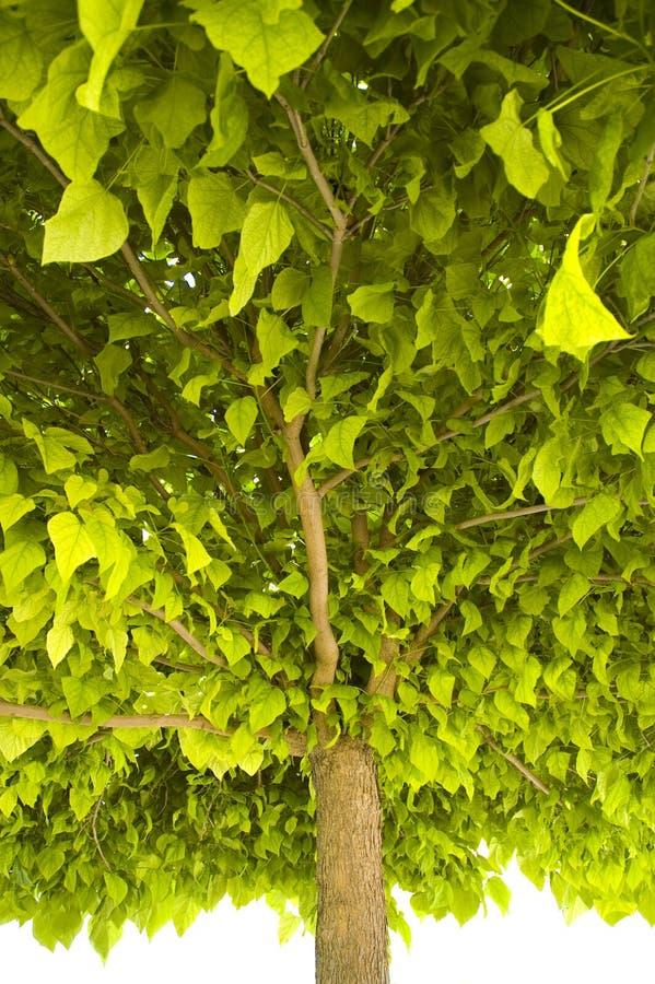 Cime d'arbre image libre de droits