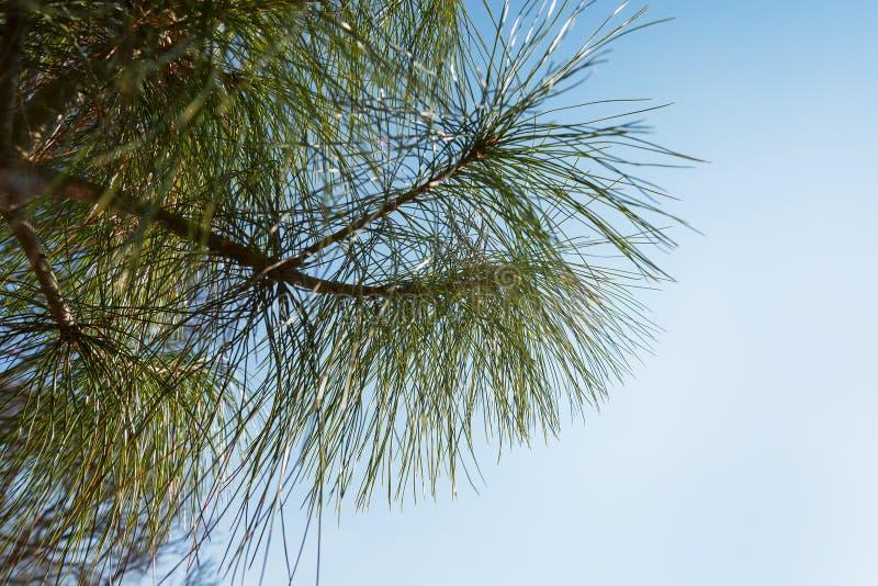 Cime d'arbre de pin 2778 (aériens) image stock