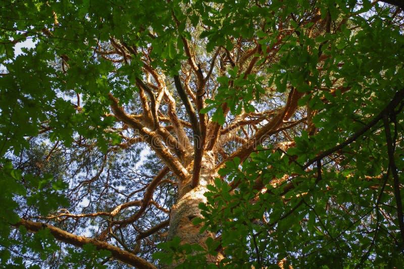 Cime d'arbre d'une couronne verte de pin photos stock
