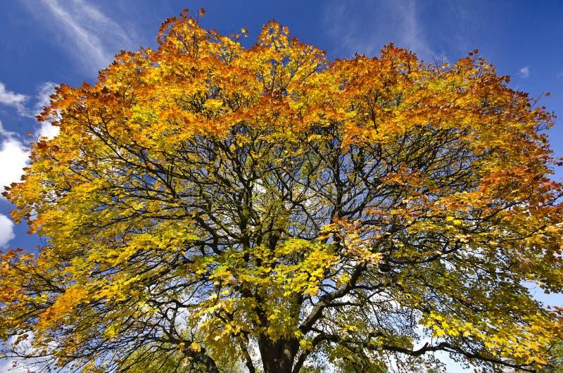 Cime d'arbre vive d'automne contre un backround de ciel bleu images stock
