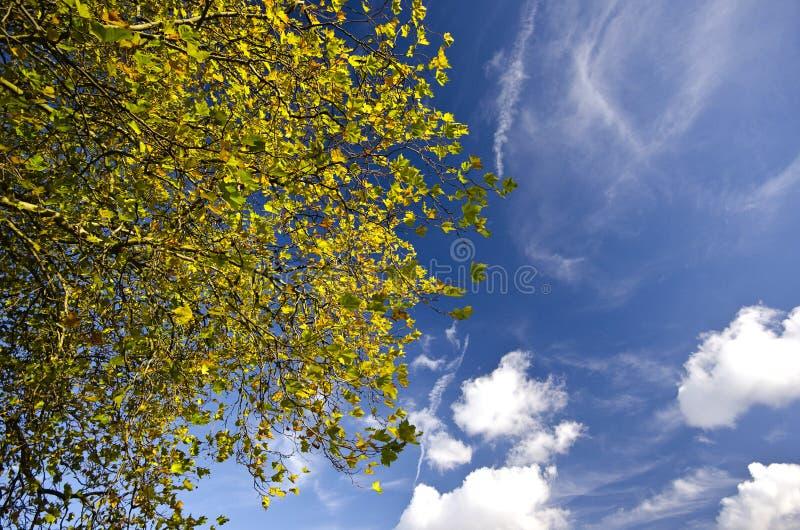 Cime d'arbre vive d'automne contre un ciel bleu image libre de droits